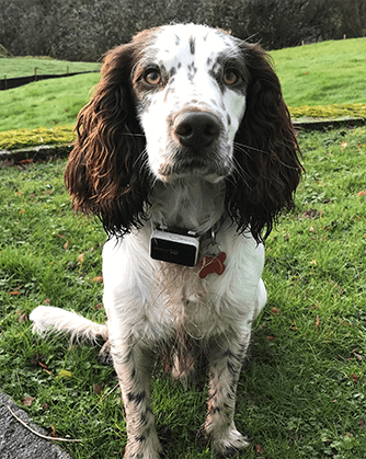 a dog wearing Pawfit GPS tracker