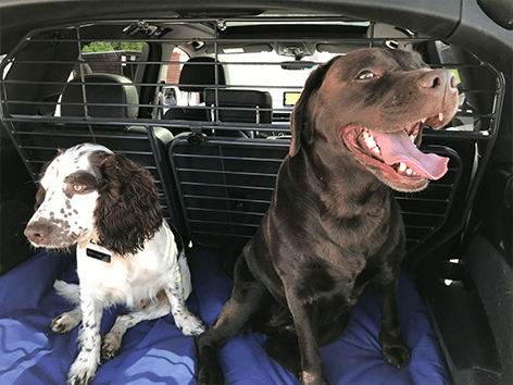 two dogs in the trunk of car
